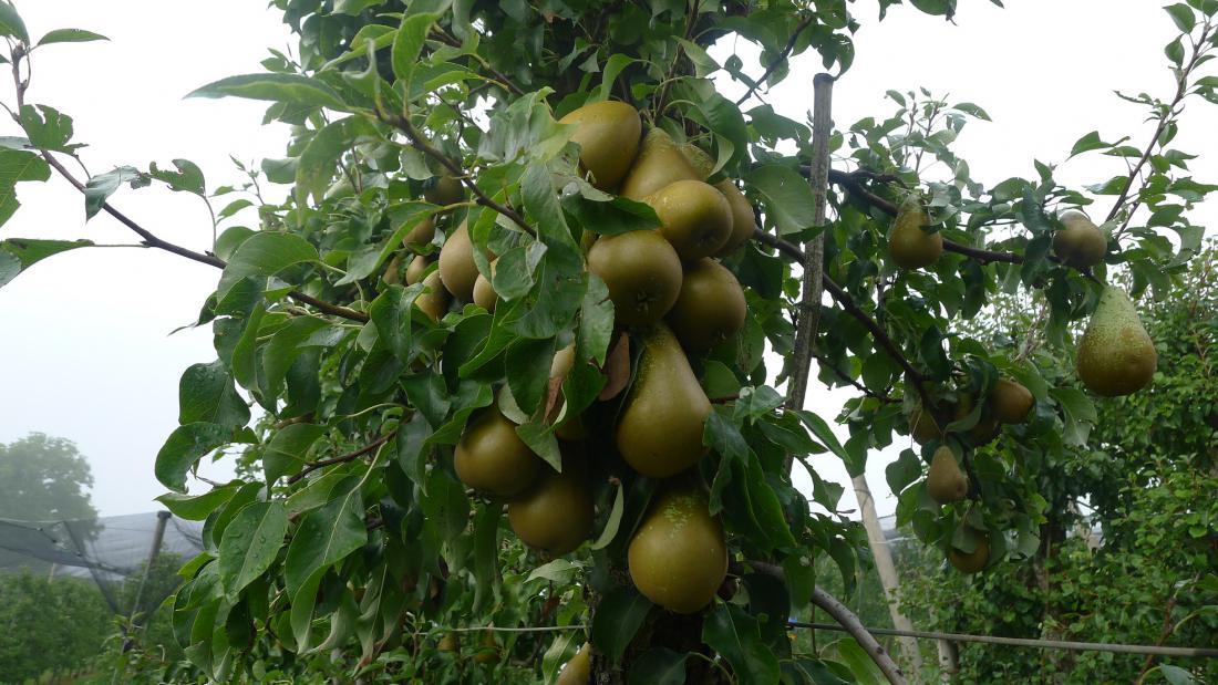 Hruška po močni pomladni pozebi v sadovnjaku na Brdu pri Lukovici je vseeno polna plodov. Razlog je pojav partenokarpije, ko se plodovi razvijejo tudi iz neoplojenih cvetov. Foto: J. B.