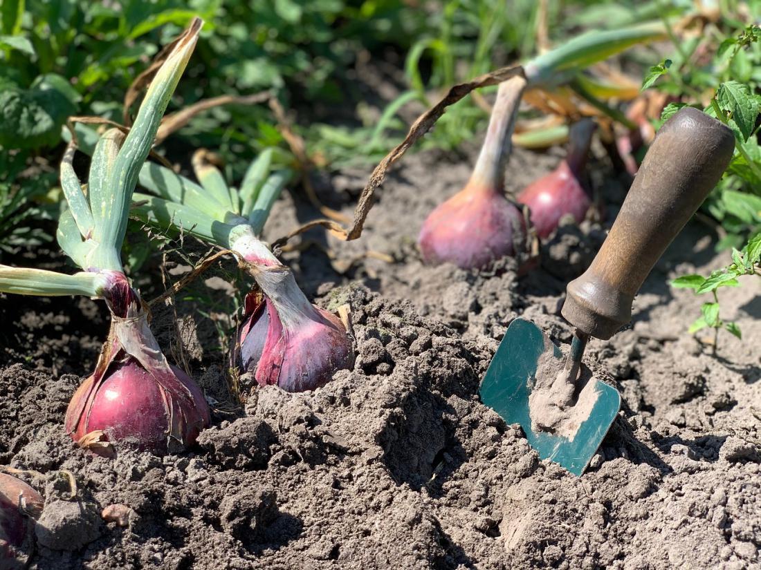 Čebulo je priporočljivo pospraviti z vrta, ko je suha tretjina listov. Foto: NadyaTk/Shutterstock