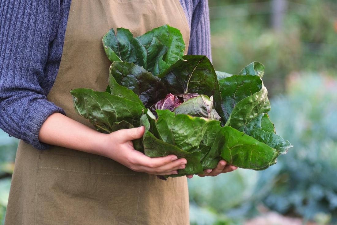 Če ste premišljeno izbrali sorte jesenskega in zimskega radiča, boste vse do zime založeni z domačimi vitamini. Foto: Valentina_G/Shutterstock