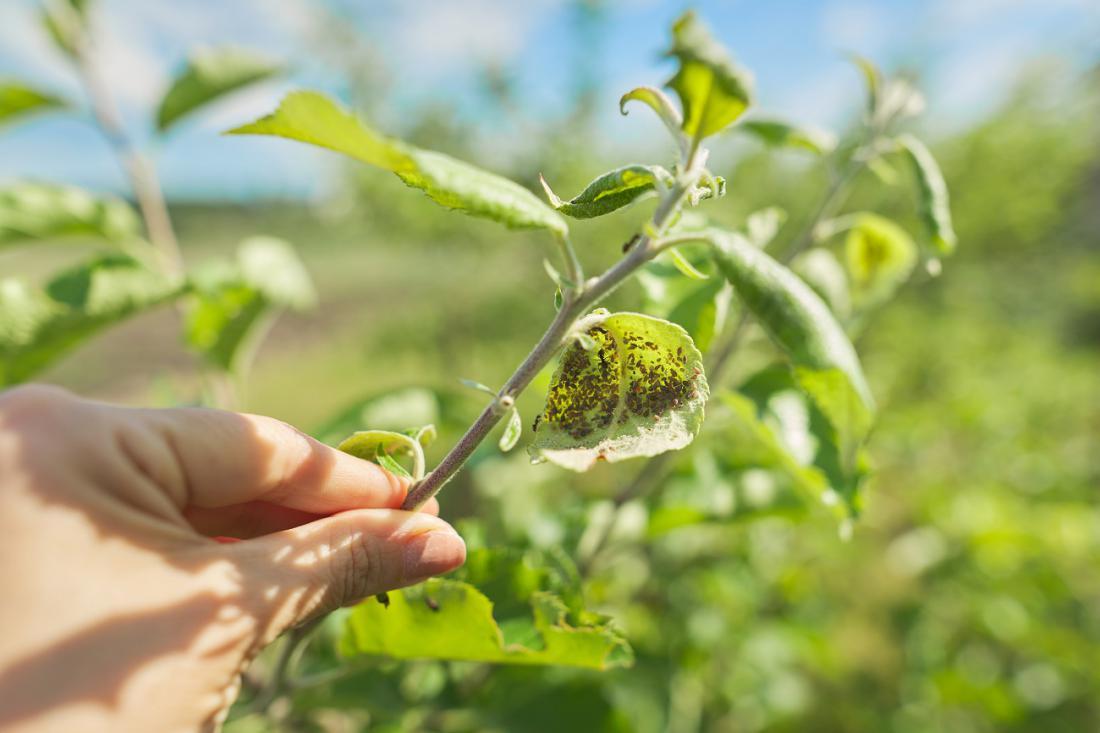 Ušive poganjke v domačem vrtu lahko izrezujemo. Foto: VH-studio/Shutterstock