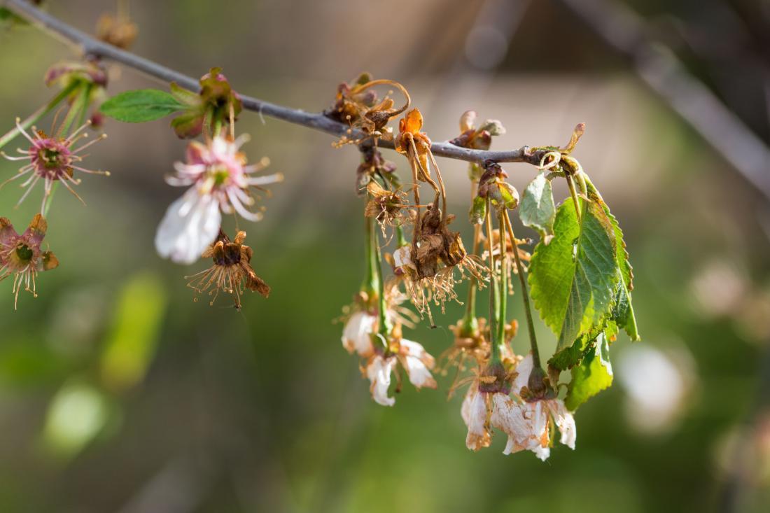 Cvetna monilija pri češnji. Foto: pticelov/Shuttestock