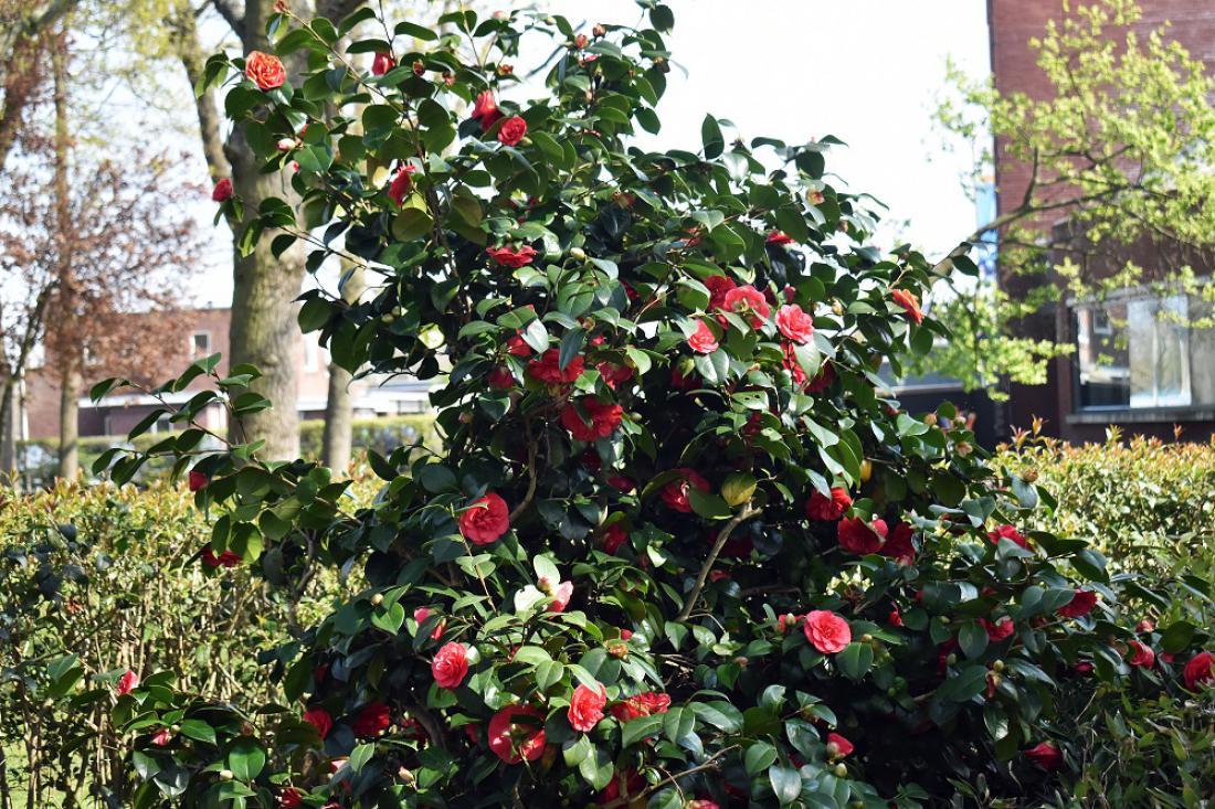 Kamelije cvetijo med januarjem in majem. FOTO: Flower Cuncil of Holland