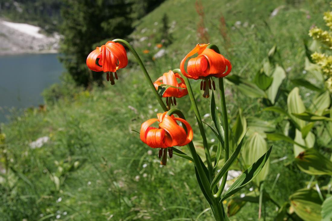 Naša kranjska lilija ob Krnskem jezeru (foto Igor Modic)