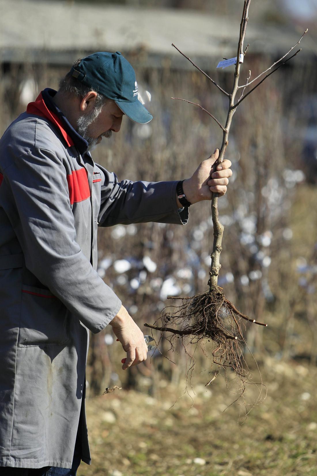 Sadna sadika z golimi koreninami. Foto: Leon Vidic
