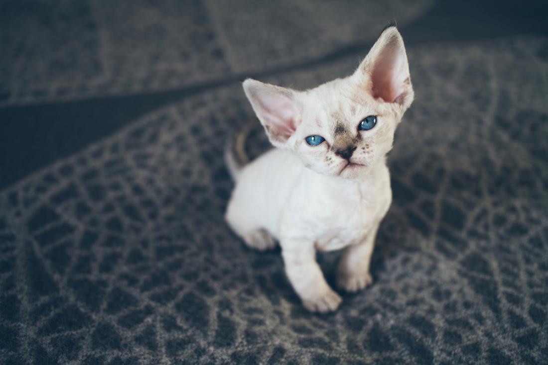 Mačke so mojstrice manipulacije in bodo vedno našle način, kako vas oviti okoli svojega repa. FOTO: Veera/Shutterstock