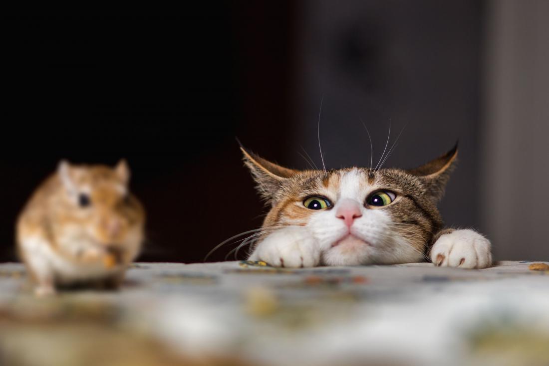 Najboljša obramba proti mišim v hiši bo domača mačka. Foto: Sergey Zaykov/Shutterstock