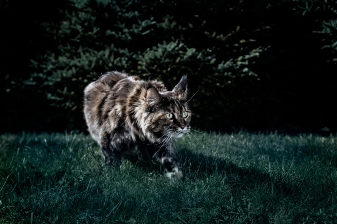 Mačke se dobro znajdejo v skoraj popolni temi. FOTO: Konstantin Zaykov/Shutterstock