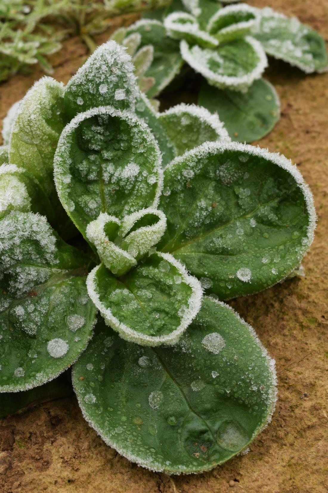 Če pozimi pokrit motovilec primrzne na kopreno, rastline ob odkrivanju poškodujemo. Foto: Ivonne_design/Shutterstock