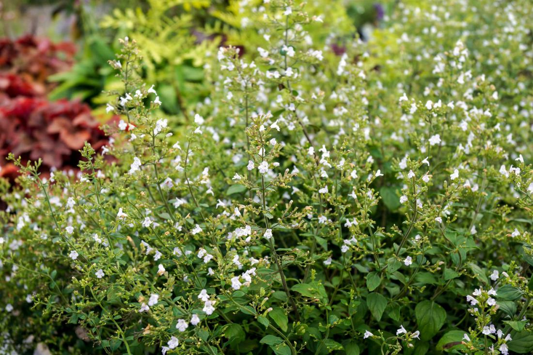 Belo cvetoča nepeta, foto: Nancy J. Ondra/Shutterstock