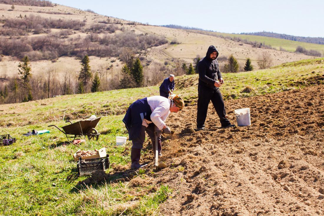 Če ne vrtnarimo na Primorskem, krompirja ne sadimo pred začetkom aprila. Foto:Oksana Shufrych/Shutterstock