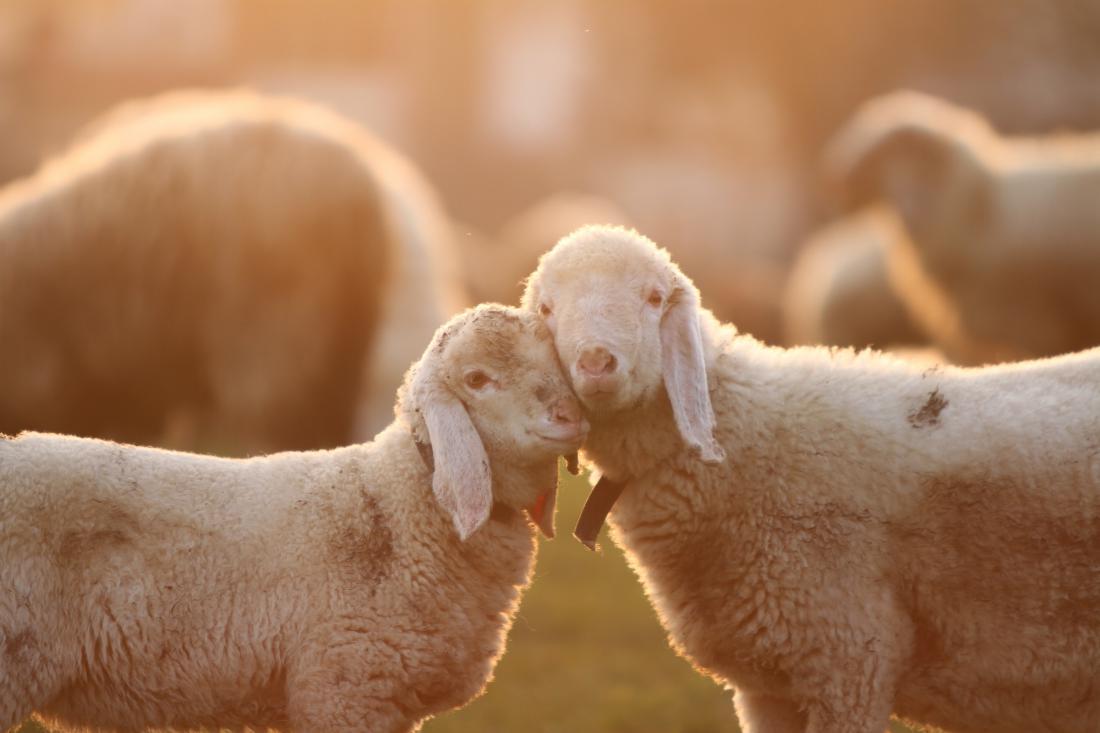 PETA se bo usmerila na področje uporabe volne. Foto: Shutterstock