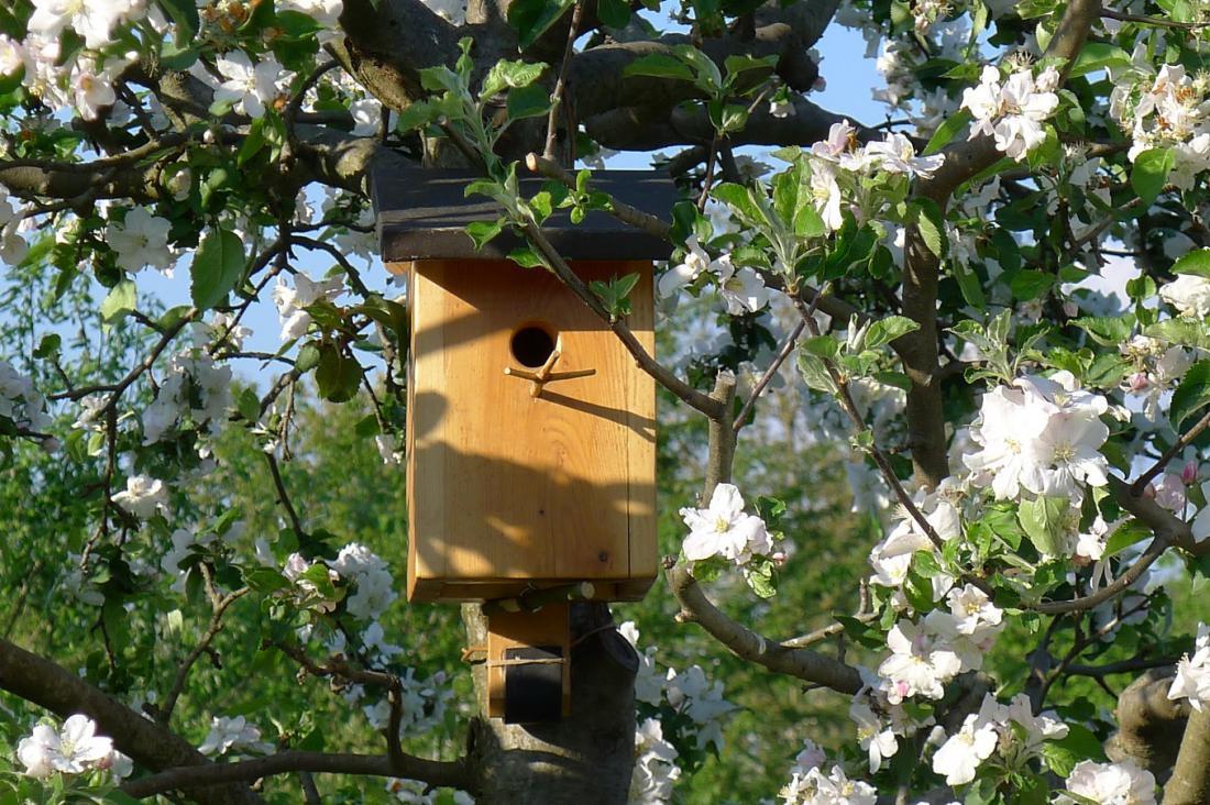 Siničke so šele tretje leto tvegale gnezdenje v ptičji hišici na jablani. Foto: Julijana Bavčar