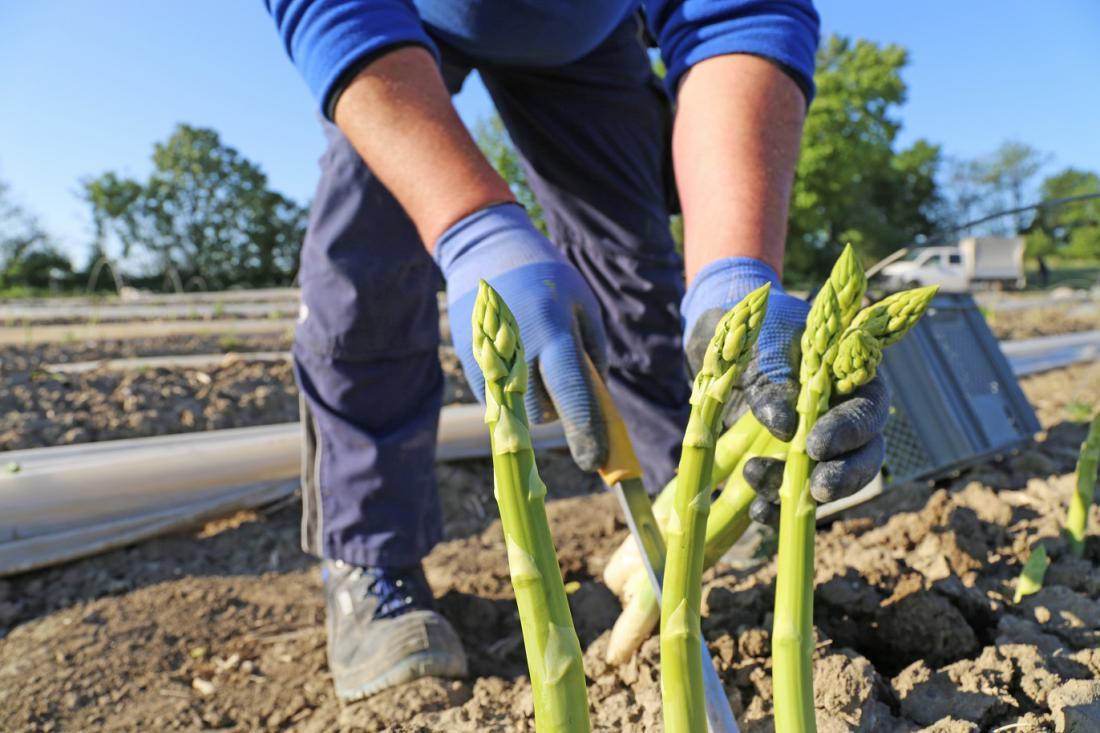 Ena rastlina odžene v dveh mesecih približno 20 poganjkov. Foto: Palatinate/Stockshutterstock