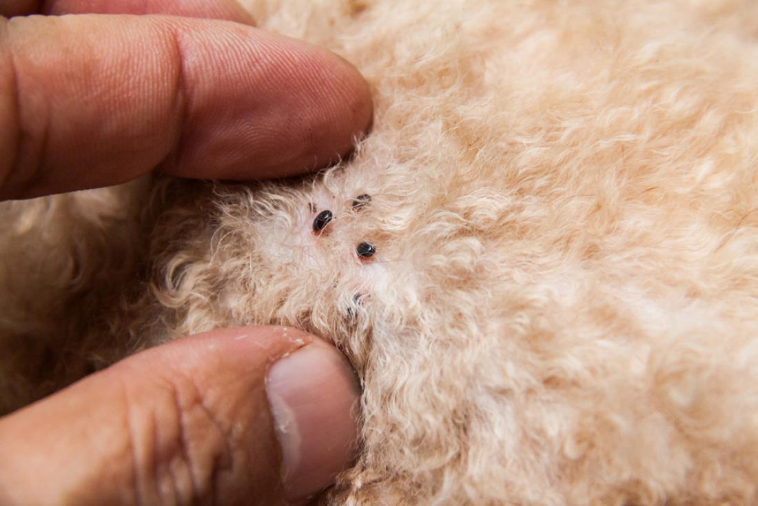 Odrasle bolhe so črne ali rjave barve brez kril, velike so nekaj milimetrov in jih lahko vidimo s prostim očesom. FOTO: ThamKC/Shutterstock