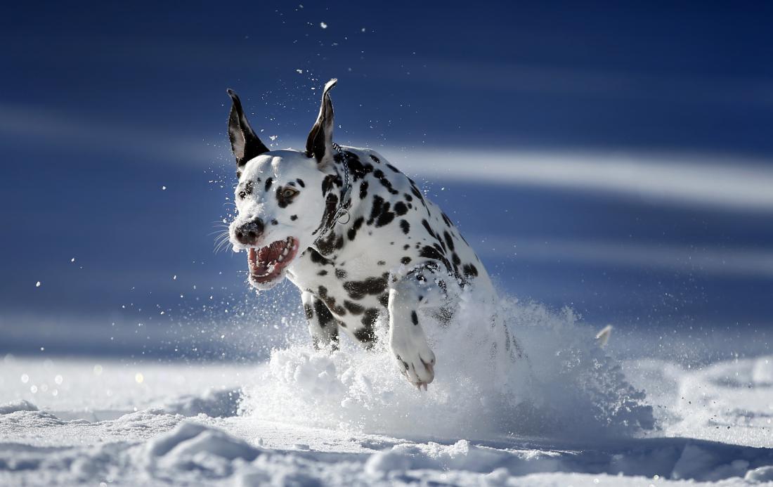 V globokem snegu psa ne spuščajte s povodca. FOTO: Matej Družnik/Delo