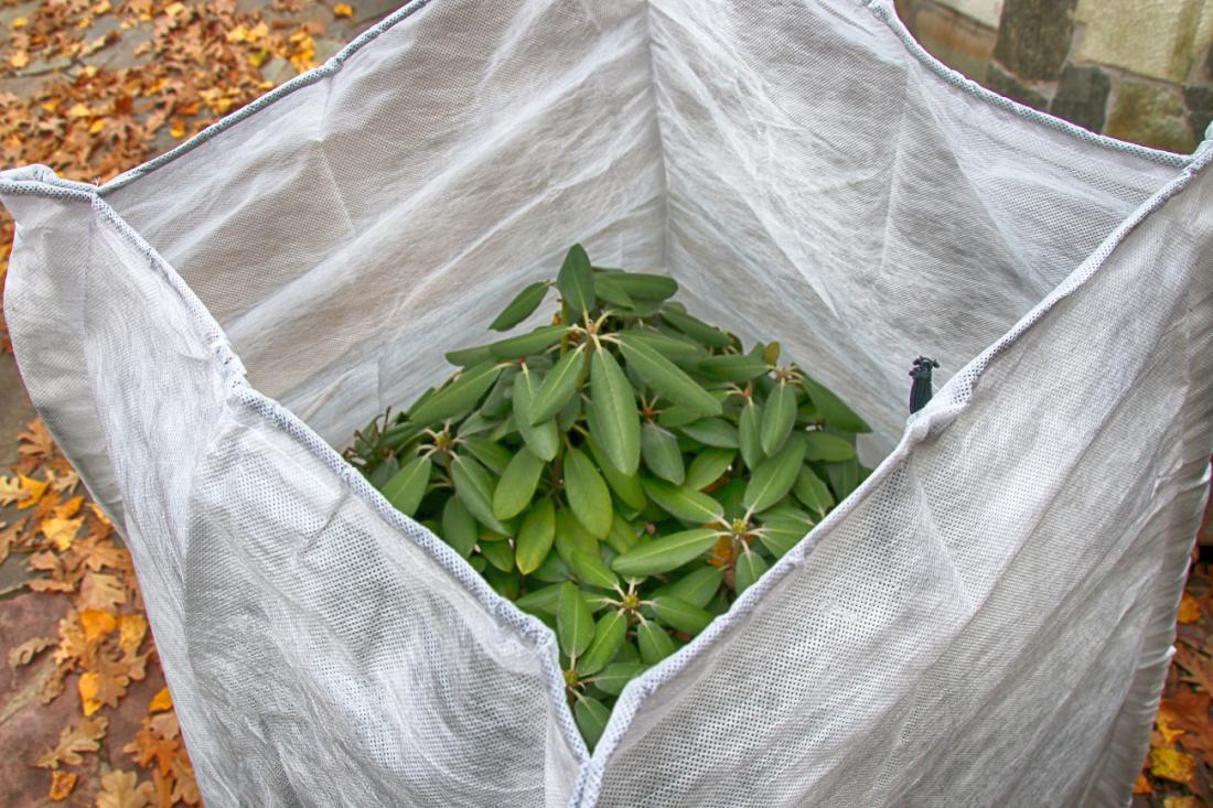 V vetrovni in suhi zimi s takšno zaščito zmanjšamo izhlapevanje iz rododendronovih listov. Sredi toplejših dni ga malo zalijemo, a le tla. FOTO:photowind/Shutterstock