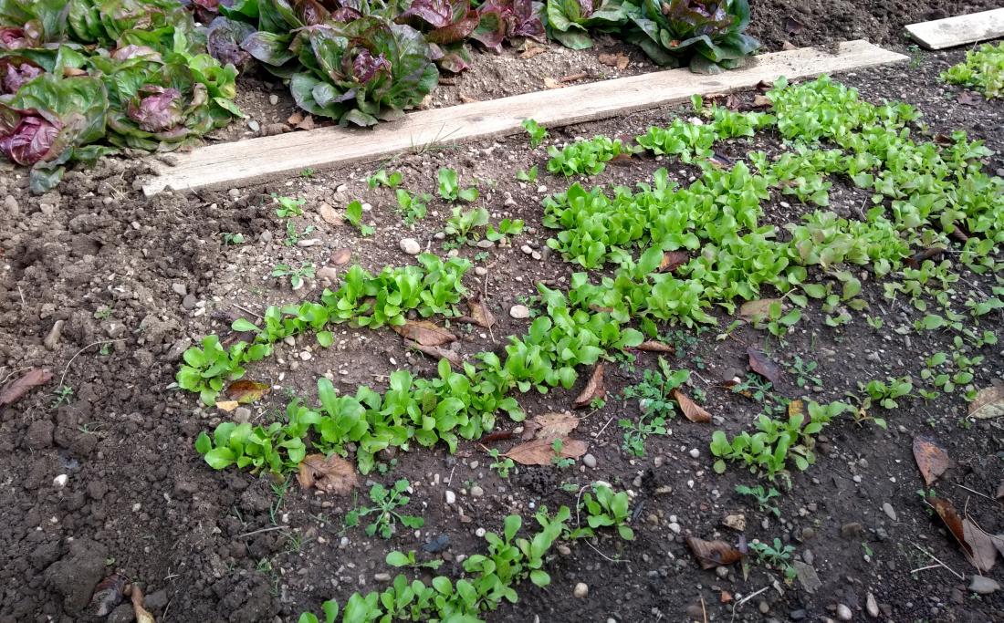 Zeleno gnojenje s solatnicami. FOTO: Plantella