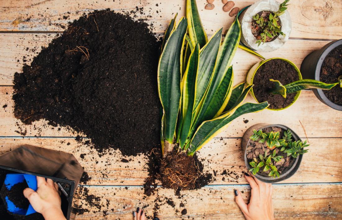Sobne rastline najpogosteje sadimo in presajamo v kupljene namenske substrate.
