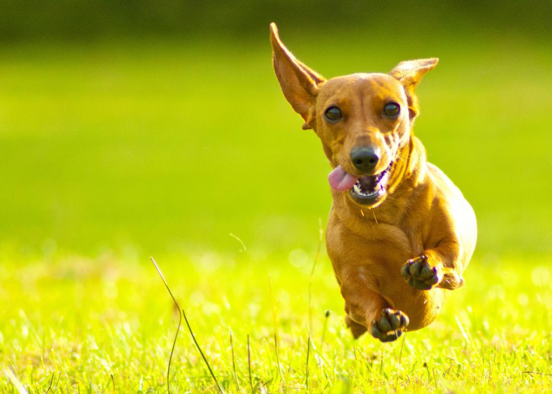 Pritlikavi jazbečar Foto: NORRIE3699/Shutterstock
