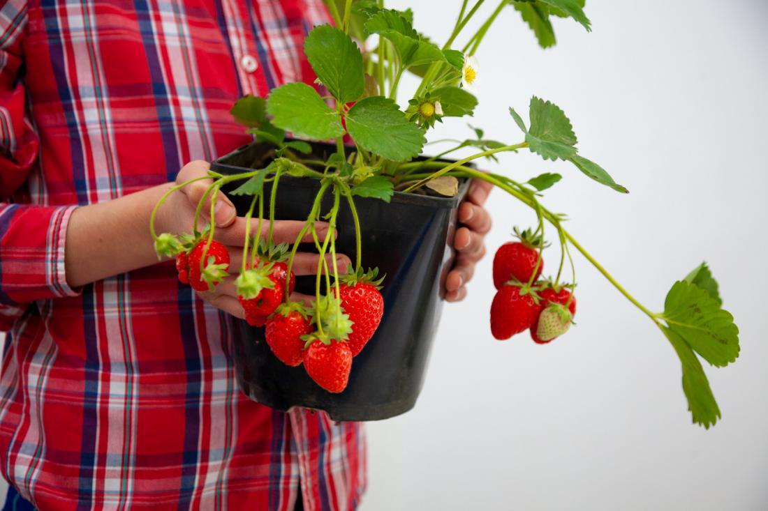 Naravna rast poganjkov s plodovi pri jagodah je povešava. Pridelek bo zdrav, če nanje ne bo deževalo. Foto: Real_life_Studio/Shutterstock