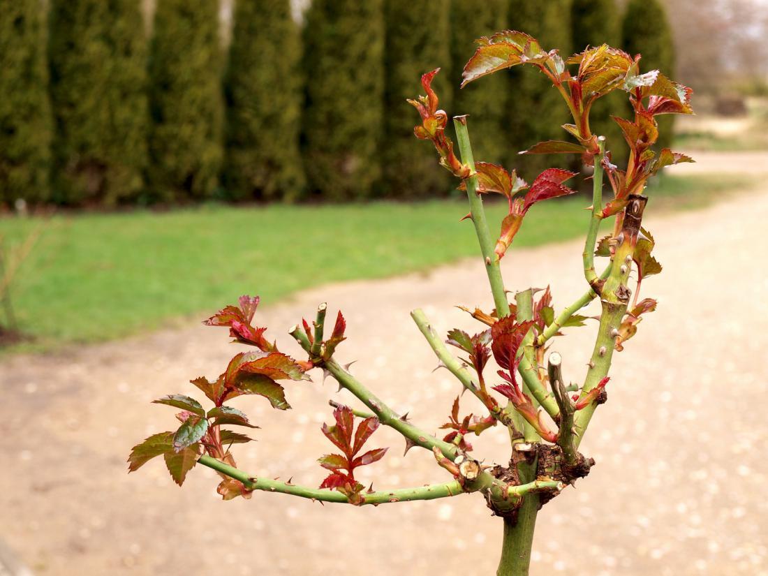 Skrajni čas za rez vrtnic je, ko cvetijo forzicije.