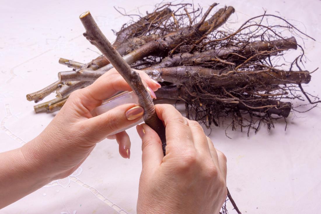 V drevesnici ukoreninjeni in izkopani  lesnati potaknjenci leske.Foto: Sergii Kuchugurnyi/Shutterstock