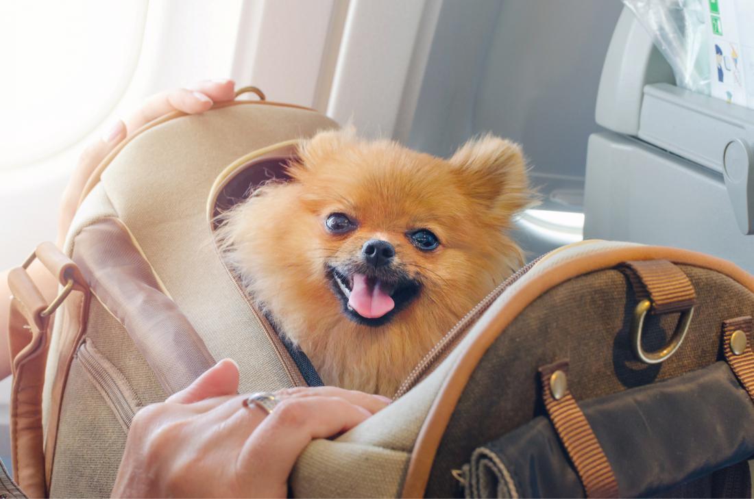 V potniško kabino je običajno dovoljeno malim hišnim ljubljenčkom do teže pet kilogramov.