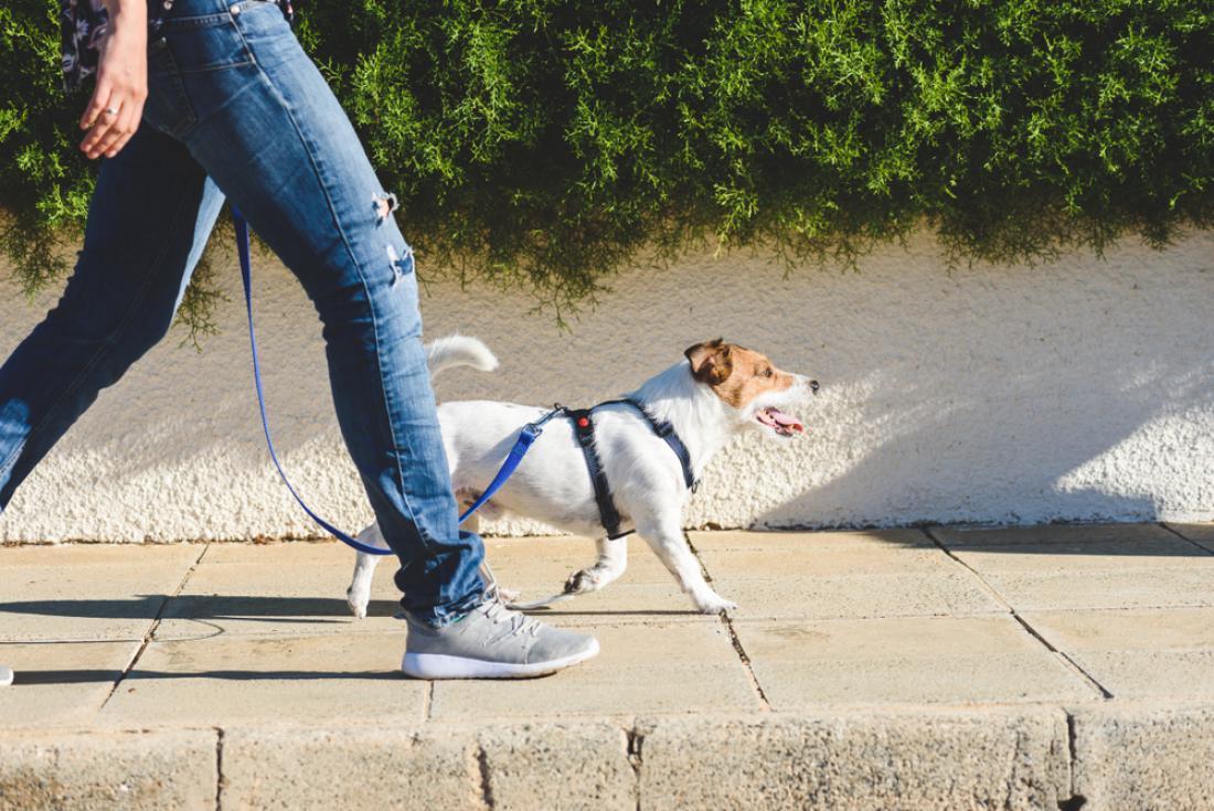 Namesto ovratnic je na sprehodu bolje uporabljati oprsnico. FOTO: alexei_tm/Shutterstock