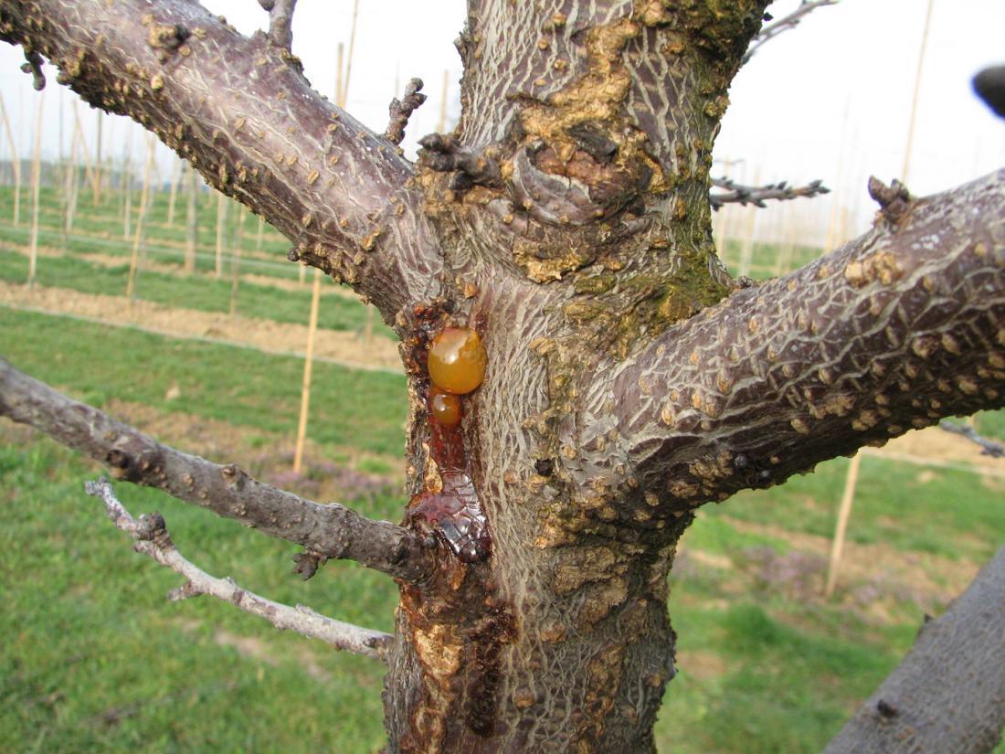 Smoljenje na koščičarjih je posledica okužbe s cvetno monilijo, žal je ta marelica obsojena na propad. Foto: Roman Mavec
