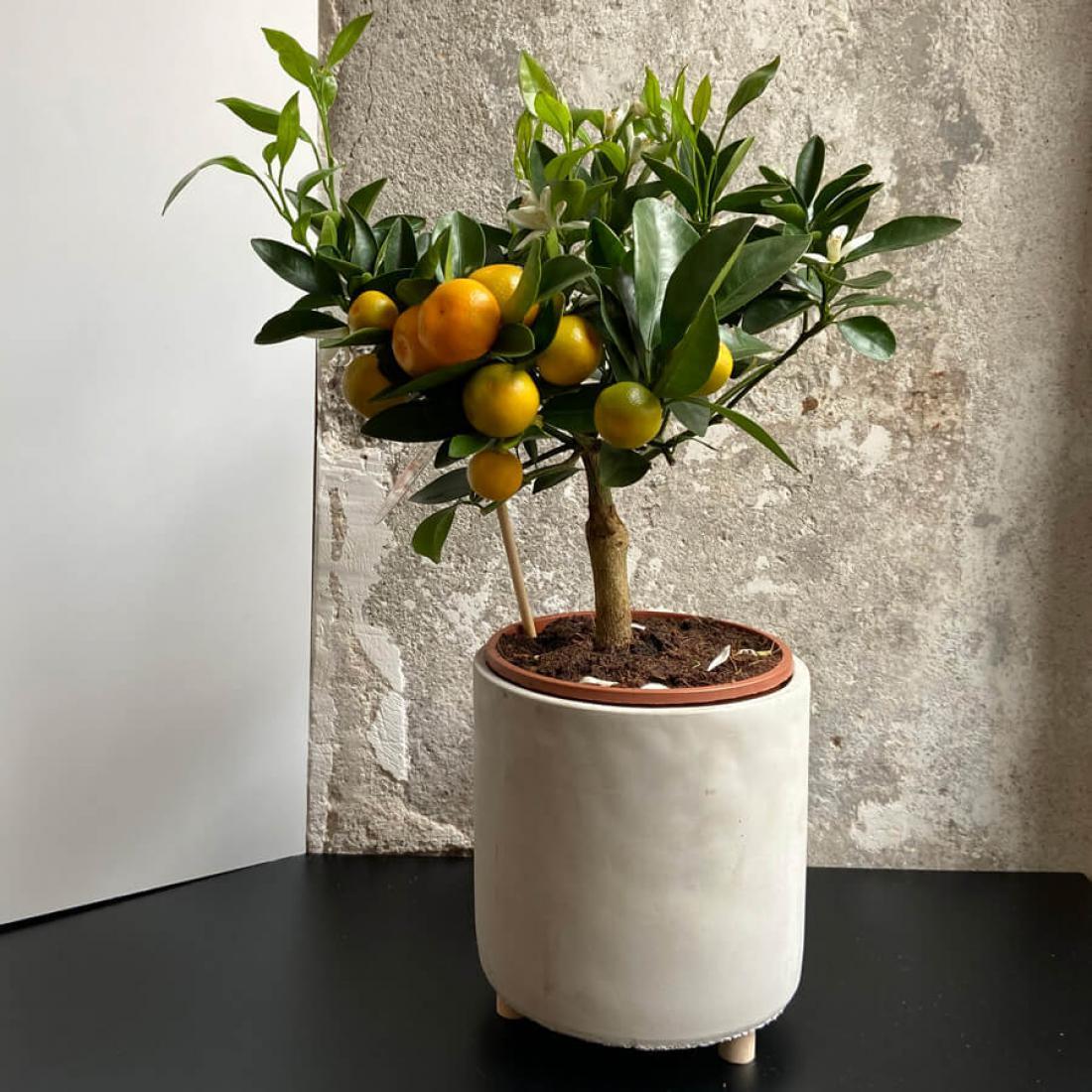 Sobni mandarinovec je nastal s križanjem mandarine in kumkvata.