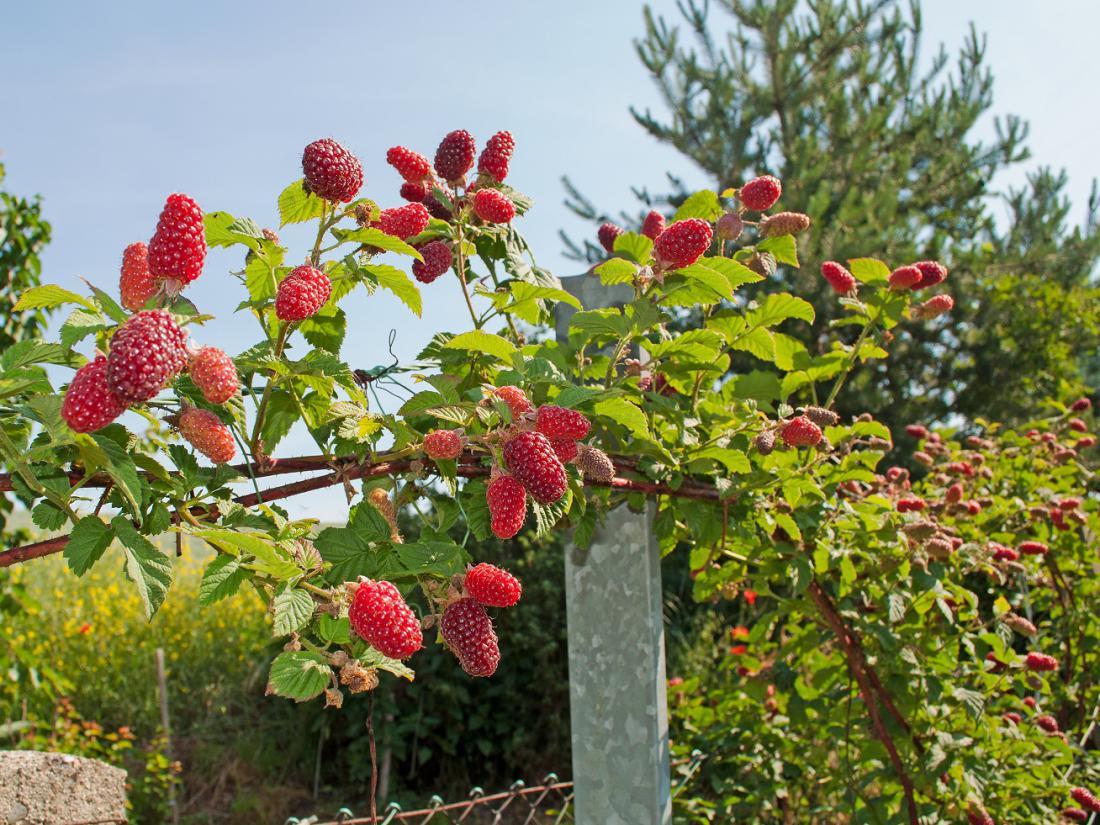Avgusta obiramo tayberry. Foto: M. Schuppich/Shutterstock