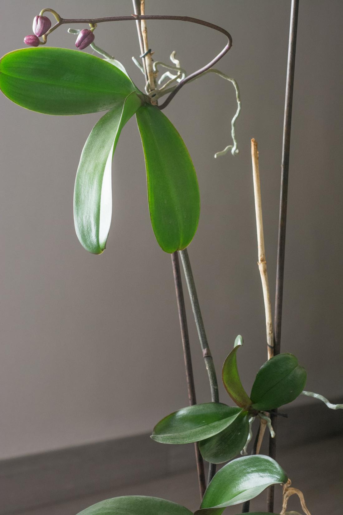 Mlade rastlinice na cvetnem steblu lahko odrežemo in posadimo.Foto: Tnet/Shutterstock