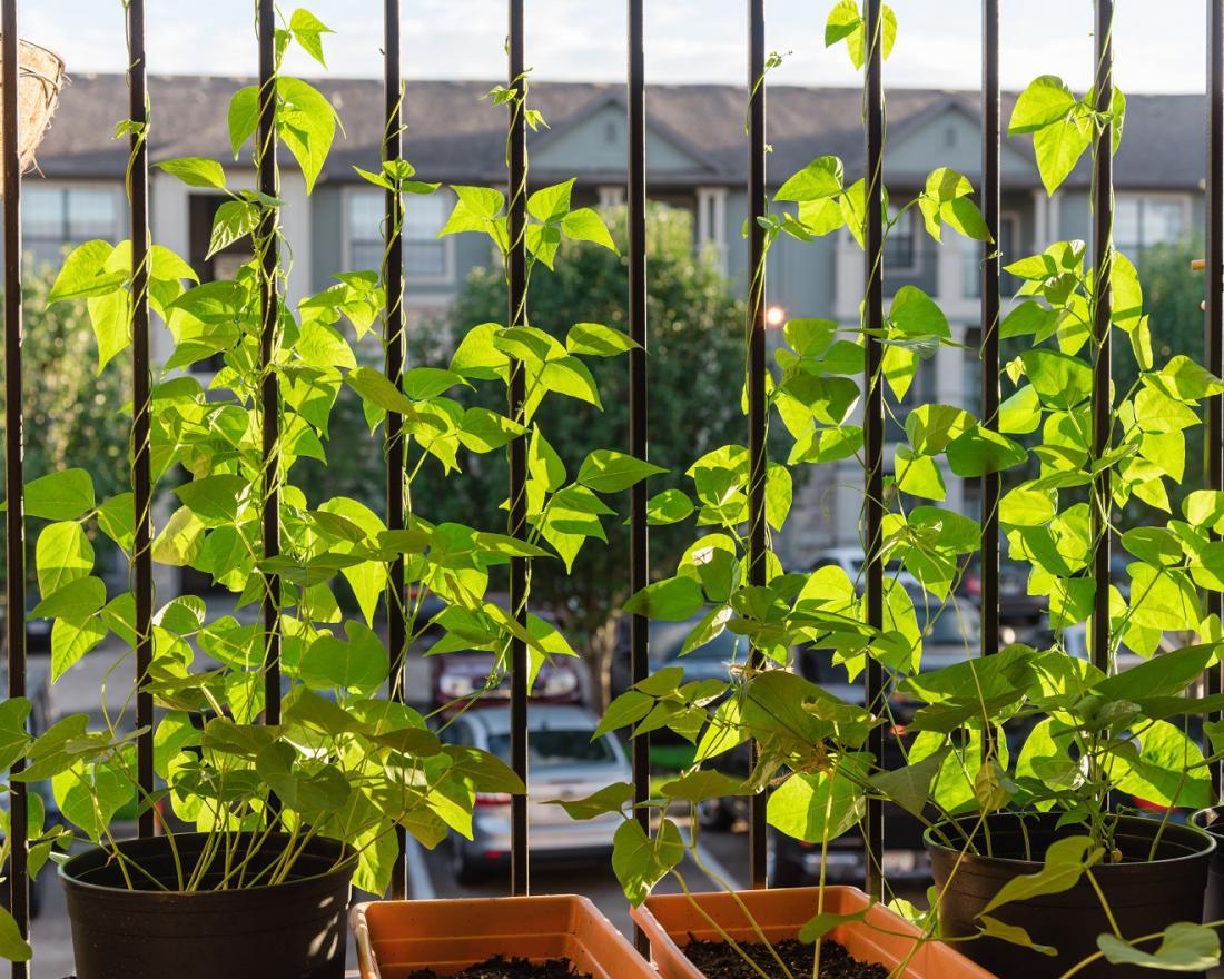 Visoki fižol poskrbi za malce sence na balkonu. Foto: Trong Nguyen/Shutterstock
