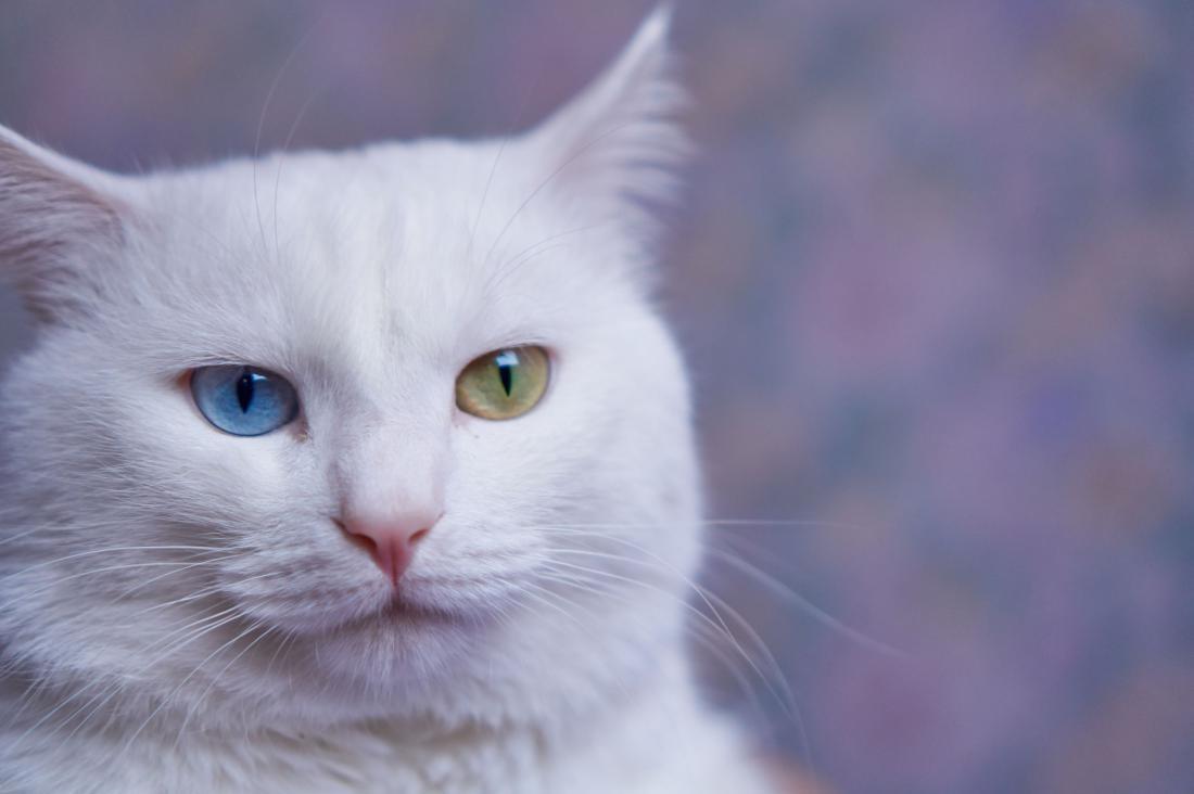 Turška angora mačka Foto: Natalia Tretiakova/Shutterstock