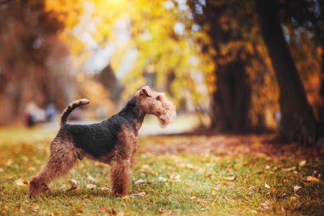 Valižanski terier FOTO: Kate Grishakova/Shutterstock