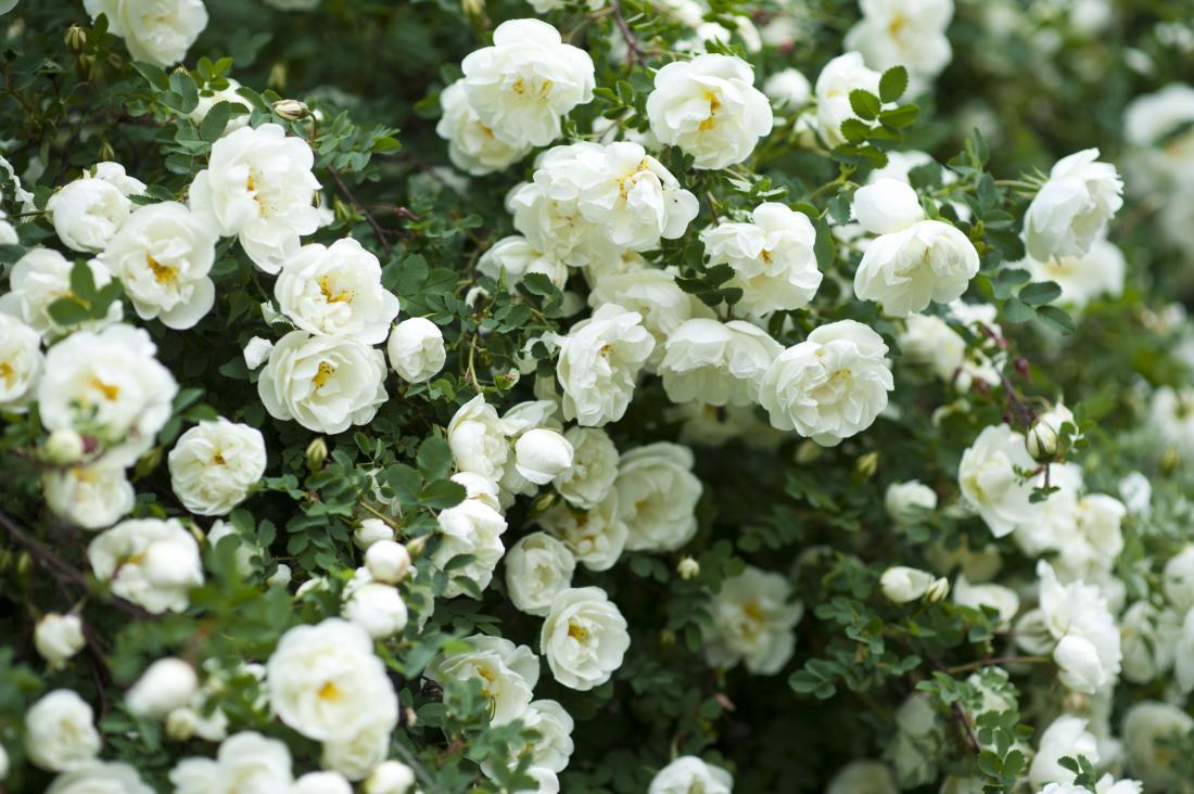 Vrtnice, foto: Shutterstock