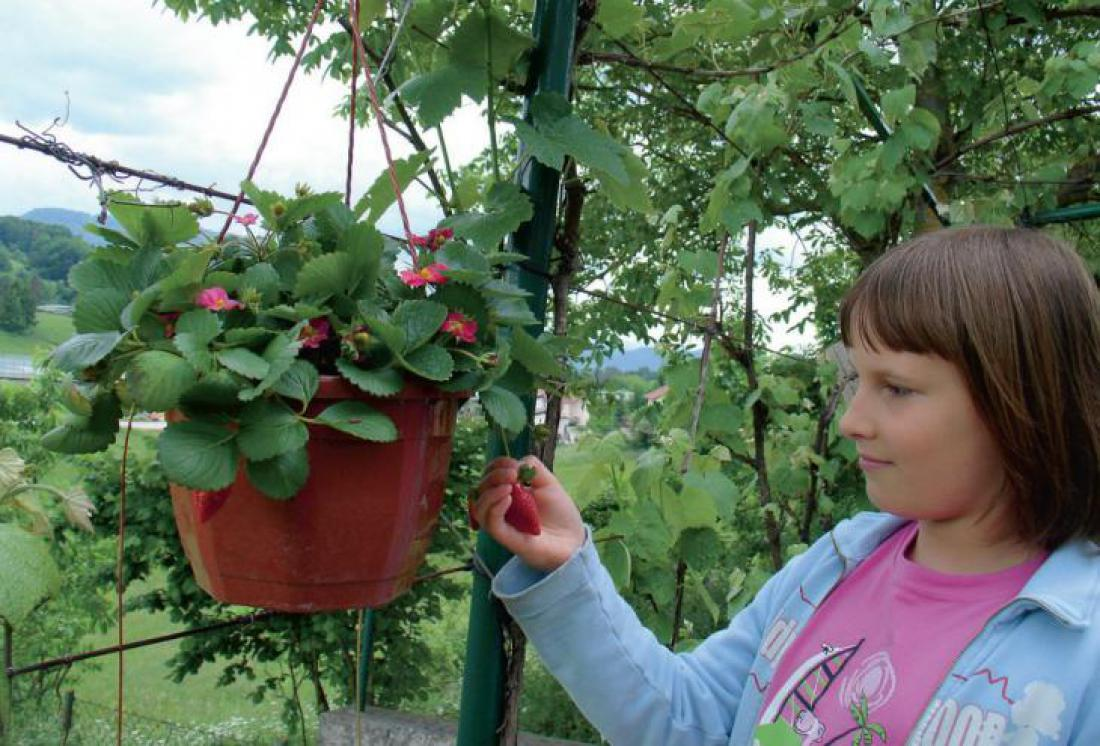 Za pobešanke so primerne večkrat rodne sorte jagod. Foto: Darinka Koron